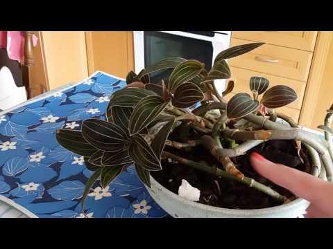 Орхидея Лудизия  (Ludisia).Уход.