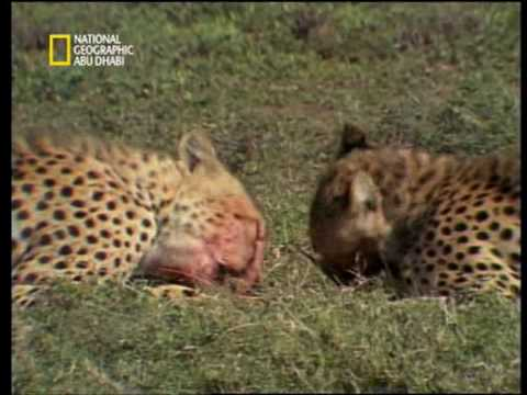 "Nat Geo Abudhabi-Cheetah, top speed 115Km/H""الفهد"""