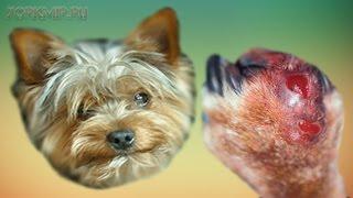 Межпальцевая киста у собак | Симптомы | Лечение.