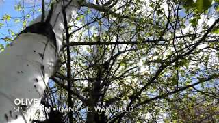Daniel E. Wakefield - Olive