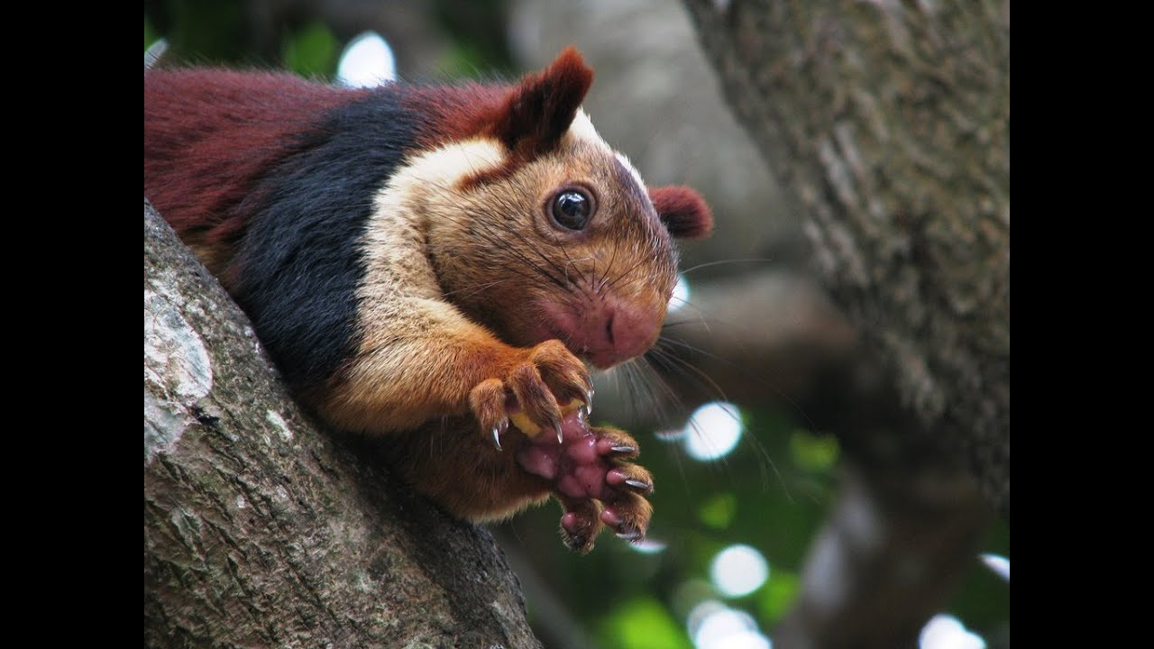 Indian Giant Squirrel - Rare Species - YouTube