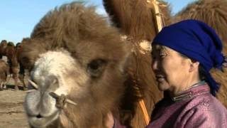 Coaxing ritual for camels