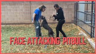 Face Attacking American Pitbull Terrier Rehabilitation