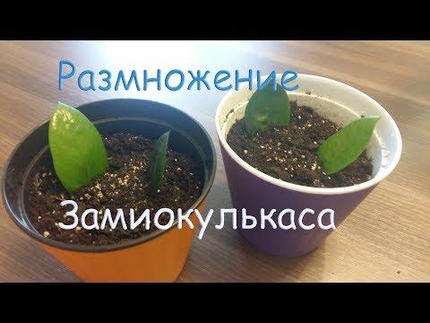 Размножение Замиокулькаса (долларовое дерево) в домашних условиях