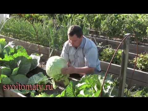 видео: Выращивание ранней капусты