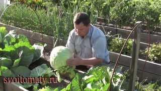 Выращивание ранней капусты(Выращивание ранней капусты Мой сайт: http://svoitomaty.ru/ Эмайл адрес для связи: tomatoved@mail.ru., 2014-07-28T07:51:12.000Z)