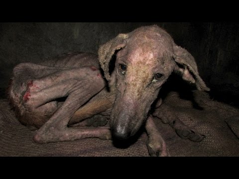 Amazing transformation of starving street dog too sick to eat