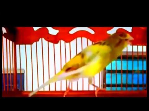 Download Lagu Suara Burung Kenari Gacor Kicau Panjang - Download Koleksi Juara 2016