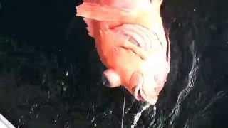 マイボートで近場のアコウダイ釣り その7 超深海別魚種編