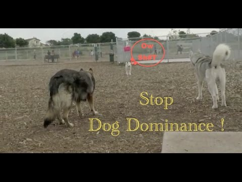 How To Stop Dominance Behavior In A Siberian Husky!