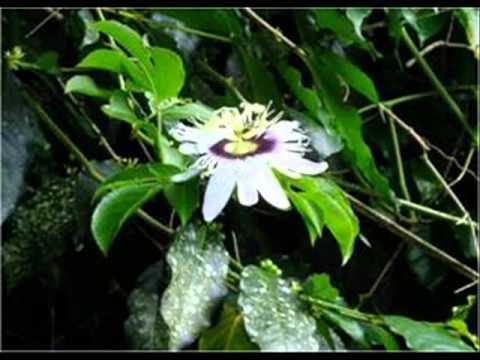Plantas de la amazonia ecuatoriana youtube - Plantas para estanques de jardin ...