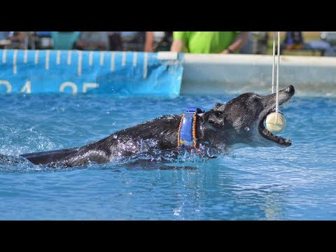 Dock Diving Whippet 'Spitfire' Breaks The Versatility Record, 'Iron Dog' in DockDogs