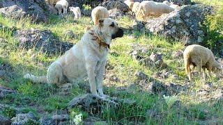 Anadolu'nun En Ünlü 5 Köpek Türü