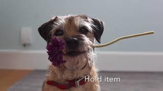 Bramble border terrier acting showreel