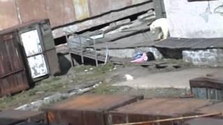 Нападение Белого Медведя
