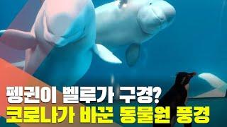 [월드줌인] 펭귄이 벨루가 구경?…코로나가 바꾼 동물원 풍경 / 연합뉴스TV (YonhapnewsTV)