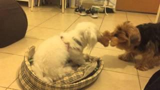 Dog Rope Pull Yorkshire Terrier Vs. Maltese