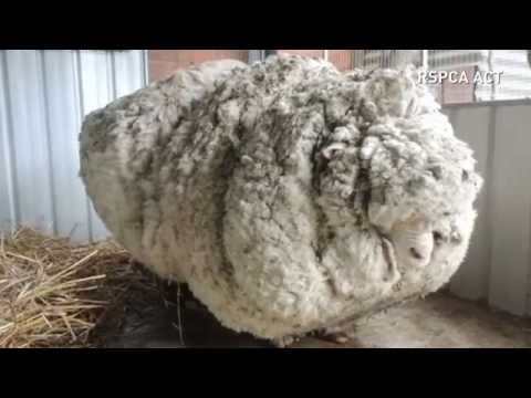 Overgrown sheep's life is saved after 40kg of wool is removed