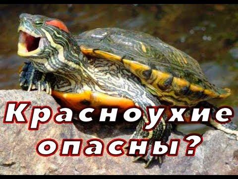 Красноухая черепаха. ОПАСНО?!