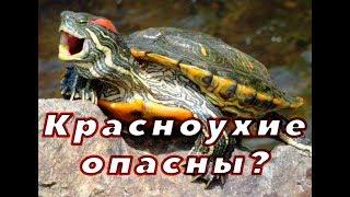 видео Красноухая черепаха