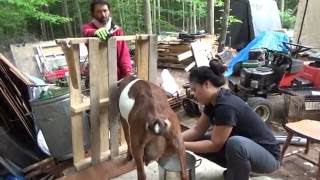 Melanie Milks The Goats Her First Time