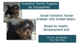 Yorkies for Sale 2016 at GorjessPets | 702-789-7892