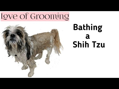 How to bathe a Shih Tzu or a Brachycephalic Breed