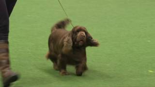 Crufts 2017 | Best of Breed winner Sally Vowles  and Sussex spaniel Wrigby
