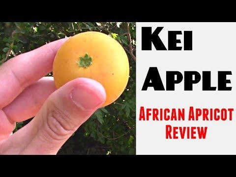 Kei Apple: The African Apricot - Weird Fruit Explorer Ep 262
