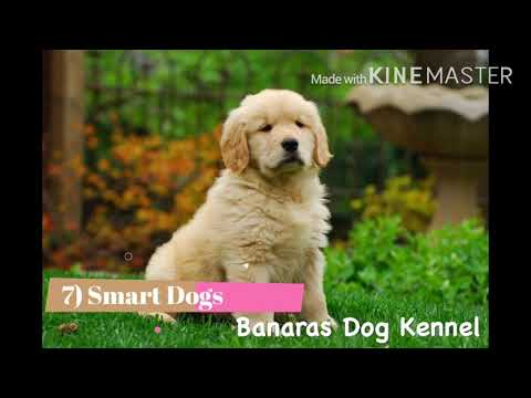 Golden Retrievers - Know about Golden Retrievers | Banaras Dog Kennel