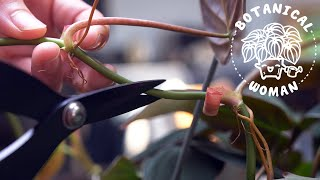 3 Ways to Propagate a Philodendron Micans