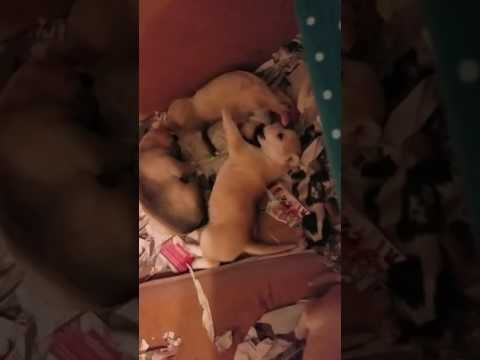 Husky/pitbull mix puppies starting to play together