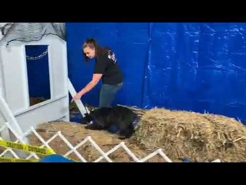 "Giant Schnauzer Puppy ""Tawny"" Agility Training Obedience/Protection Dog For Sale"