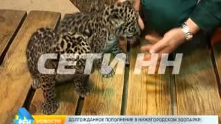 Пятнистое пополнение в нижегородском зоопарке: у пары ягуаров родились котята