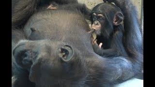チンパンジー 双子の赤ちゃん Chimpanzee twin baby part10.