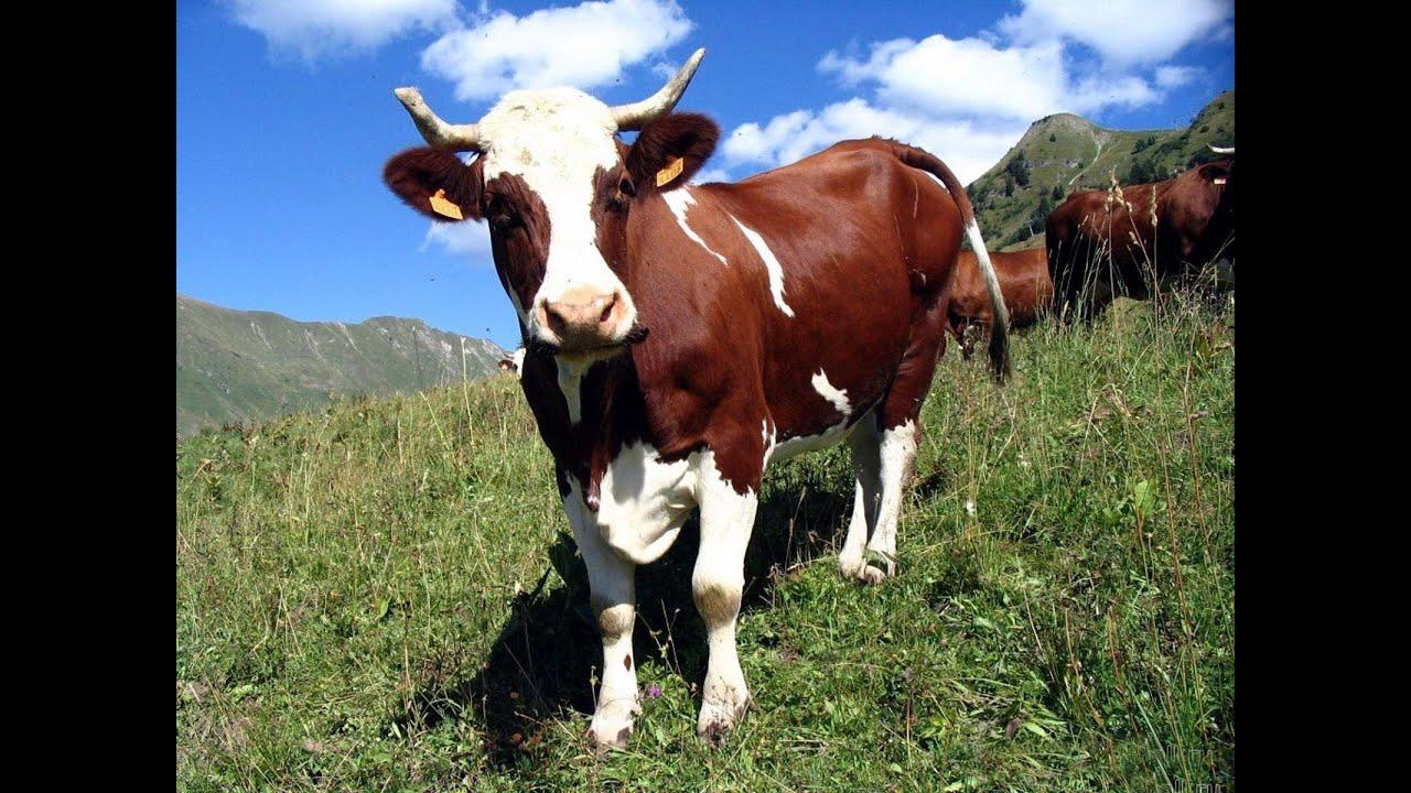 фото прикольные коровы
