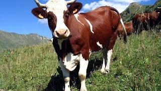 Смешная Корова!Funny Cow!