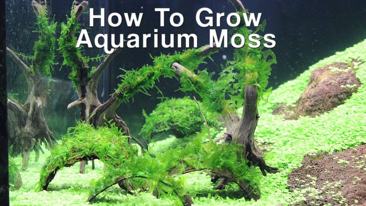 How To Grow Aquarium Moss- Christmas & Pellia Moss - YouTube