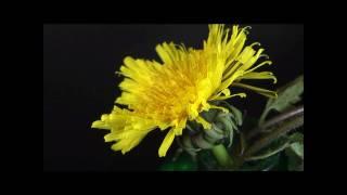 セイヨウタンポポの開花