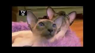 Сиамские кошки: фото, описание породы, характер. Кошка сиамской породы