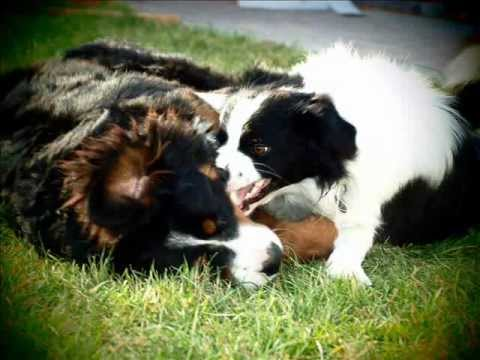 Bernese Mountain Dog & Border collie - YouTube