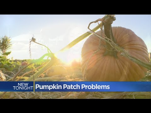 Permit Problems Plague Popular Pumpkin Patch