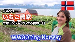 ノルウェーのイチゴ農家でボランティアしてる僕の一日 A Day in a Life of Norway WWOOFer (Strawberry Farm Volunteering)