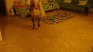 ウエスティ らっちゃんの闘犬への長い道のり☆westie In Hawaii