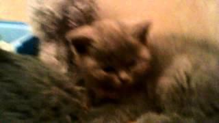 Британский котенок или британская кошка