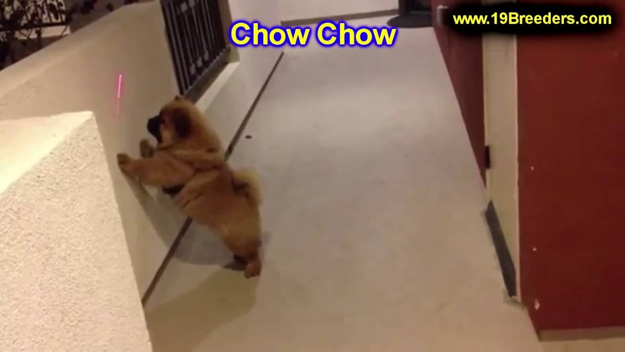 Chow Chow Puppies Dogs For Sale In Saint Louis County Missouri
