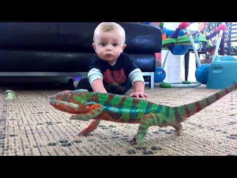 panther chameleon and baby Logan