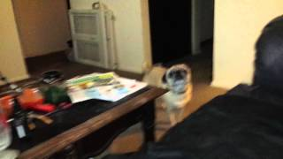 Pug acts when he has to go potty