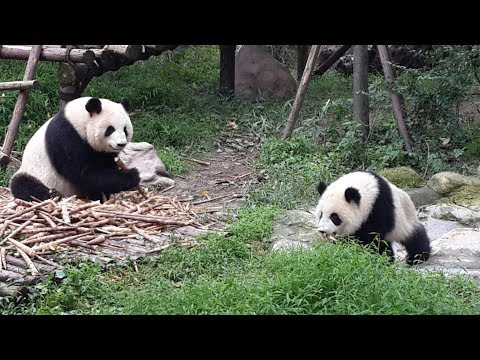 Over 100 European youths visit giant panda breeding base in Chengdu, Sichuan
