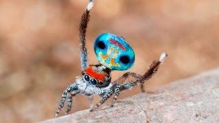 Peacock Spider 9 (Maratus amabilis)